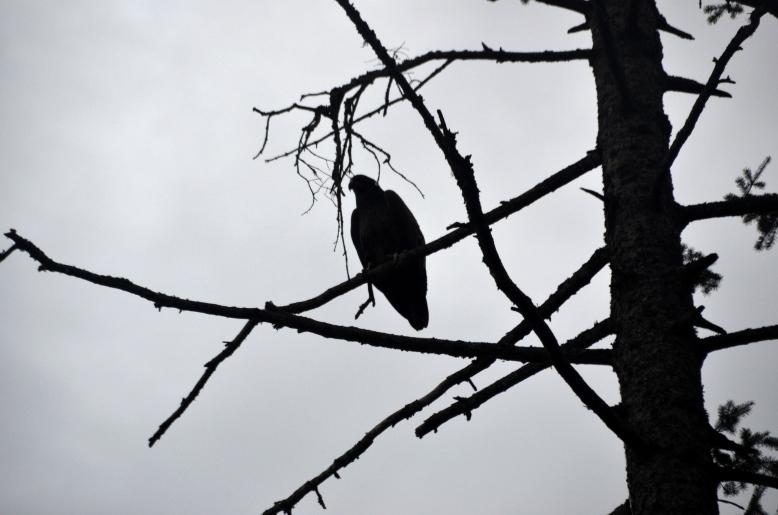 {july 25} eagle